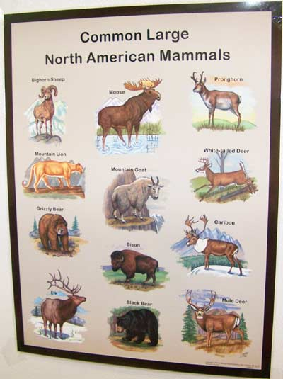 Common Mammals - Laminated Poster